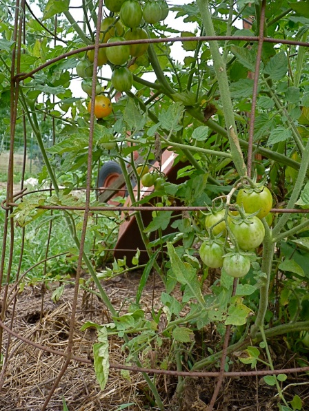 Isis candy cherry tomatoes